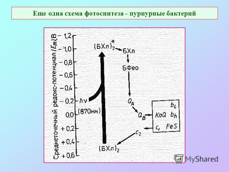 Еще одна схема фотосинтеза - пурпурные бактерий