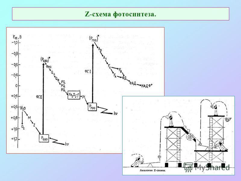 Z-схема фотосинтеза.