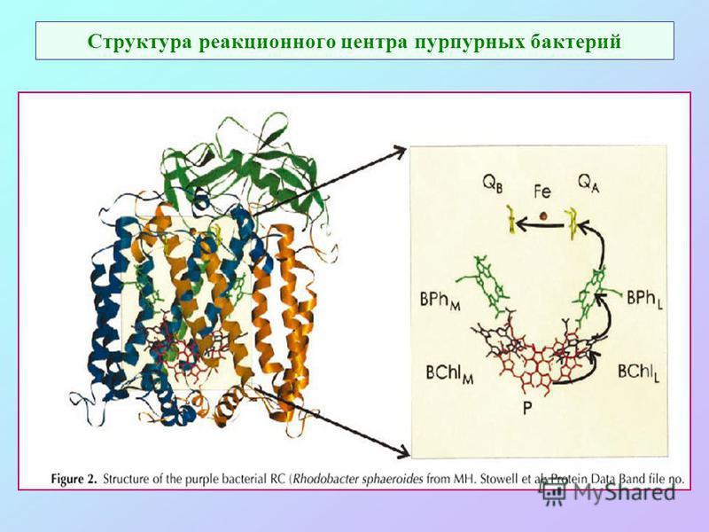 Структура реакционного центра пурпурных бактерий