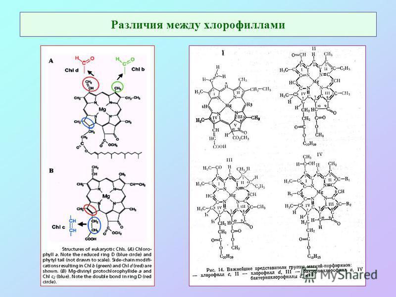 Различия между хлорофиллами