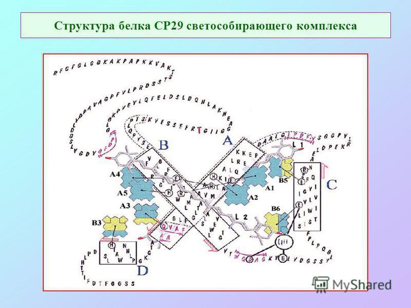 Структура белка СР29 светособирающего комплекса