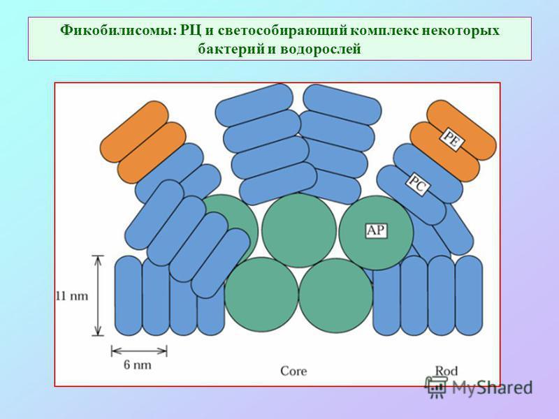 Фикобилисомы: РЦ и светособирающий комплекс некоторых бактерий и водорослей