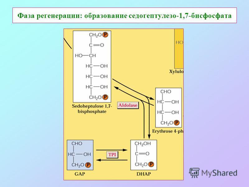 Фаза регенерации: образование седогептулезо-1,7-бисфосфата