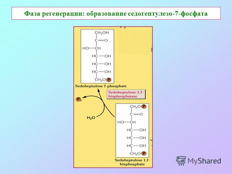 Фаза регенерации: образование седогептулезо-7-фосфата