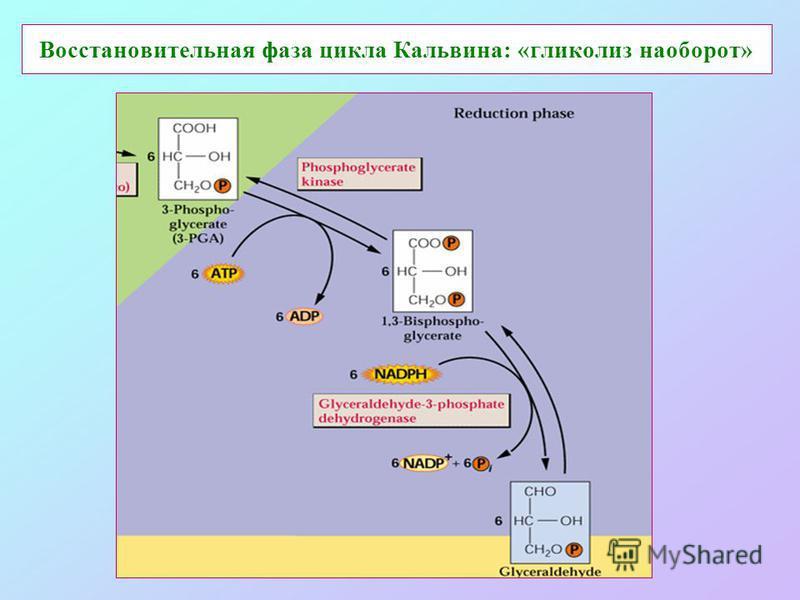 Восстановительная фаза цикла Кальвина: «гликолиз наоборот»