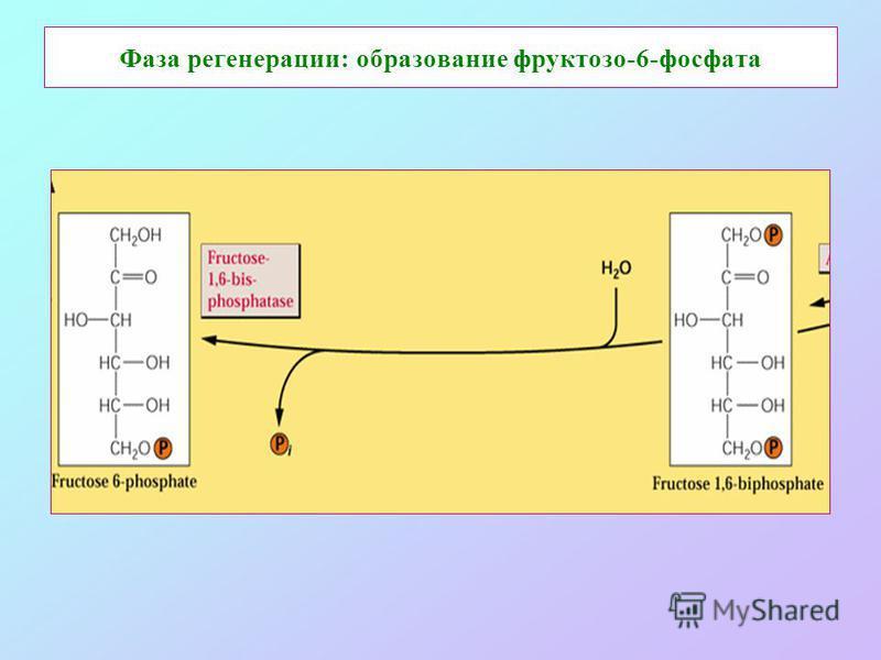 Фаза регенерации: образование фруктозо-6-фосфата
