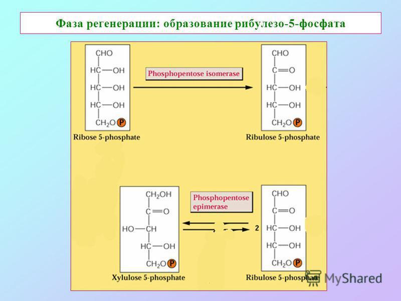 Фаза регенерации: образование рибулезо-5-фосфата