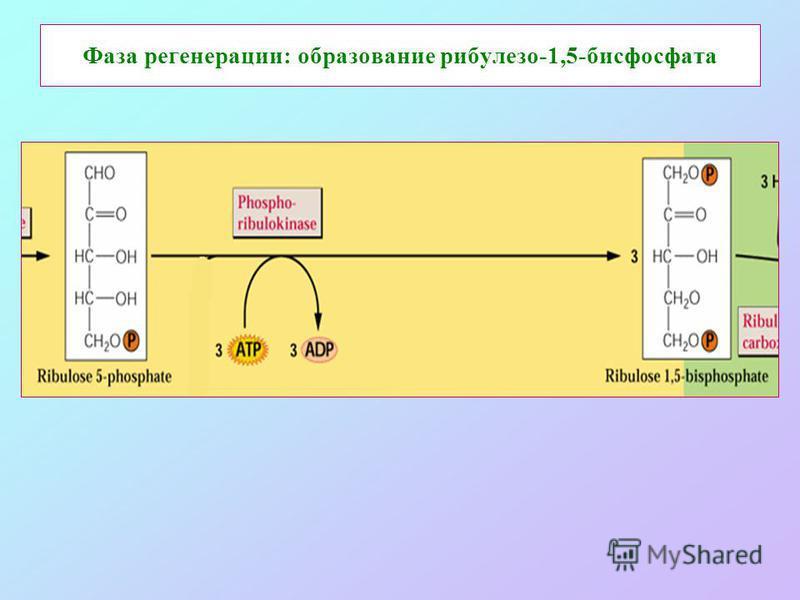 Фаза регенерации: образование рибулезо-1,5-бисфосфата