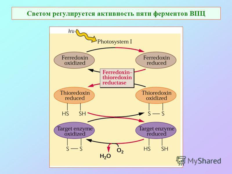 Светом регулируется активность пяти ферментов ВПЦ
