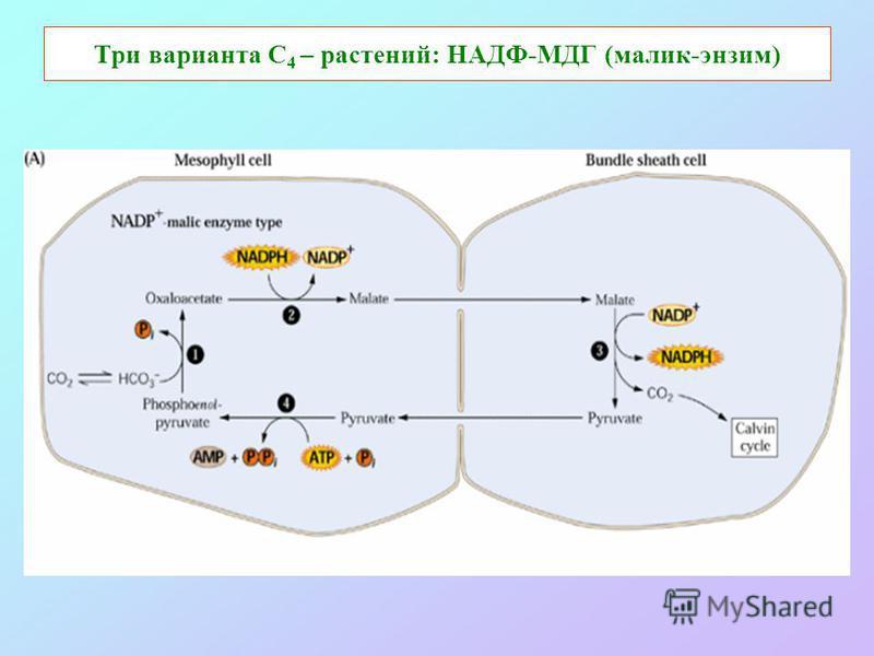 Три варианта С 4 – растений: НАДФ-МДГ (малик-энзим)