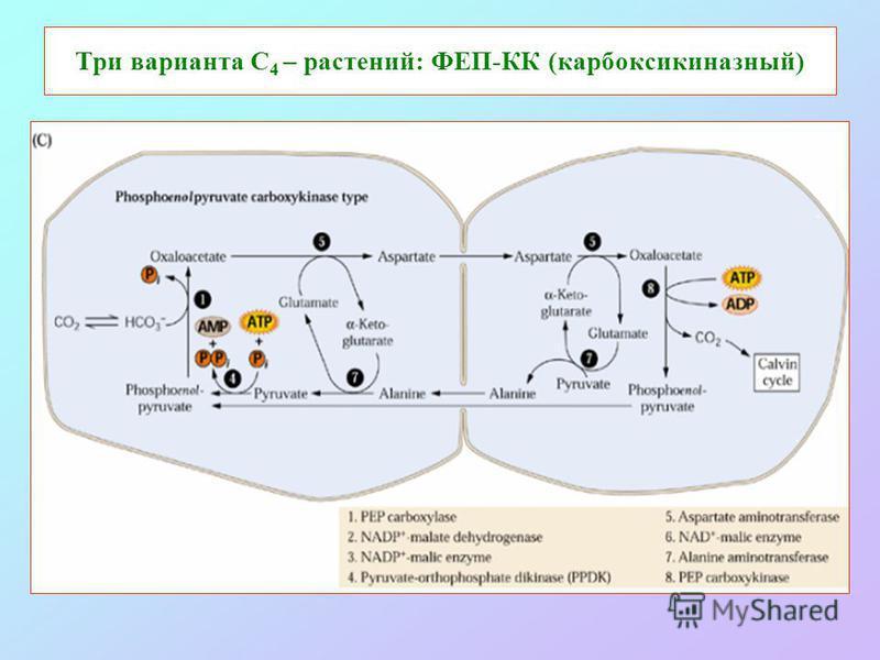 Три варианта С 4 – растений: ФЕП-КК (карбоксикиназный)