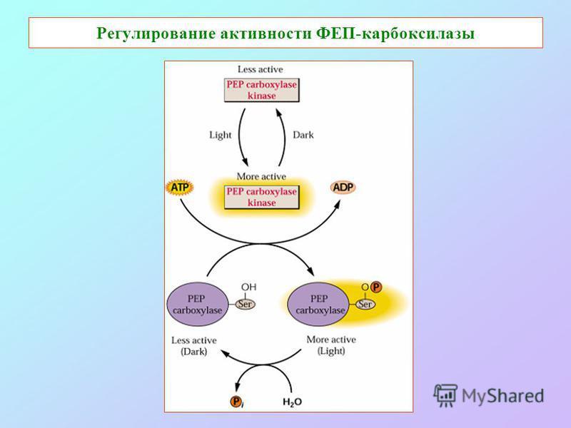 Регулирование активности ФЕП-карбоксилазы