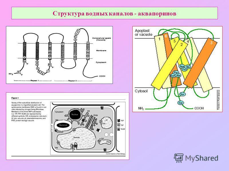Структура водных каналов - аквапоринов