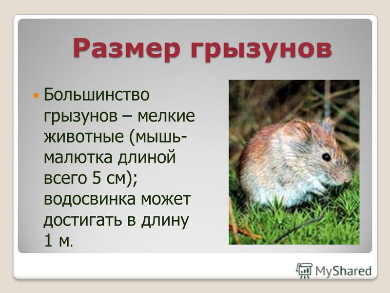 Размер грызунов Большинство грызунов – мелкие животные (мышь- малютка длиной всего 5 см); водосвинка может достигать в длину 1 м.