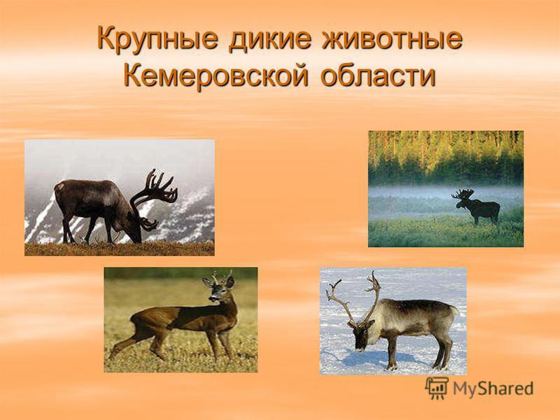 Крупные дикие животные Кемеровской области