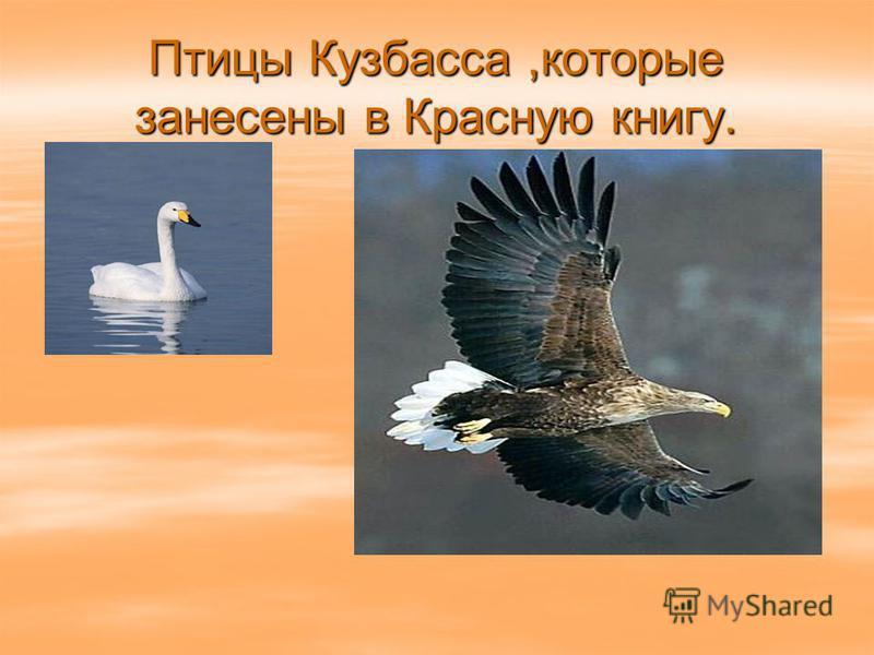 Птицы Кузбасса,которые занесены в Красную книгу.