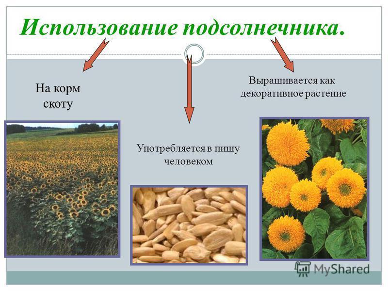 Использование подсолнечника. Употребляется в пищу человеком На корм скоту Выращивается как декоративное растение