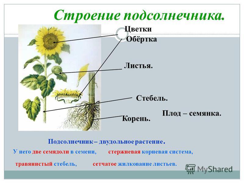 Строение подсолнечника. Листья. Плод – семянка. Стебель. Корень. Подсолнечник – двудольное растение. У него две семядоли в семени, травянистый стебель,сетчатое жилкование листьев. стержневая корневая система, Цветки Обёртка