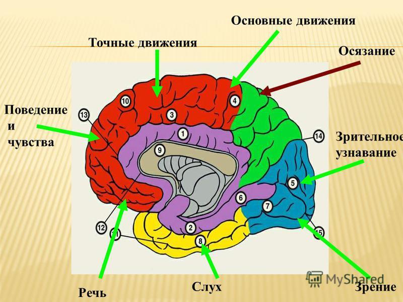 Осязание Зрительное узнавание Поведение и чувства Зрение Слух Речь Точные движения Основные движения