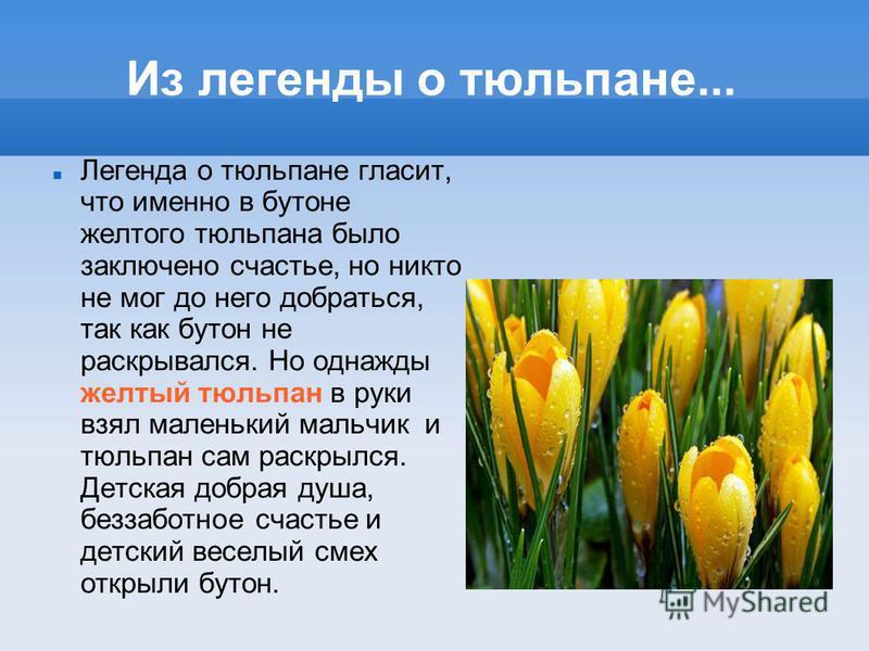 Из легенды о тюльпане... Легенда о тюльпане гласит, что именно в бутоне желтого тюльпана было заключено счастье, но никто не мог до него добраться, так как бутон не раскрывался. Но однажды желтый тюльпан в руки взял маленький мальчик и тюльпан сам ра