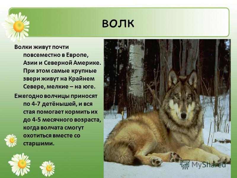 волк Волки живут почти повсеместно в Европе, Азии и Северной Америке. При этом самые крупные звери живут на Крайнем Севере, мелкие – на юге. Ежегодно волчицы приносят по 4-7 детёнышей, и вся стая помогает кормить их до 4-5 месячного возраста, когда в