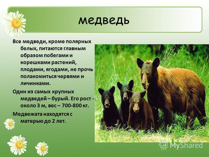медведь Все медведи, кроме полярных белых, питаются главным образом побегами и корешками растений, плодами, ягодами, не прочь полакомиться червями и личинками. Один из самых крупных медведей – бурый. Его рост - около 3 м, вес – 700-800 кг. Медвежата