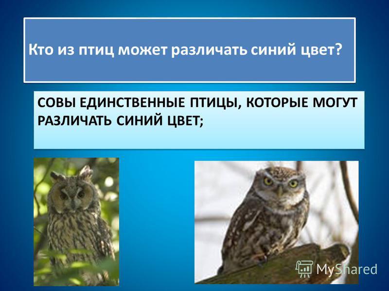 СОВЫ ЕДИНСТВЕННЫЕ ПТИЦЫ, КОТОРЫЕ МОГУТ РАЗЛИЧАТЬ СИНИЙ ЦВЕТ; Кто из птиц может различать синий цвет?