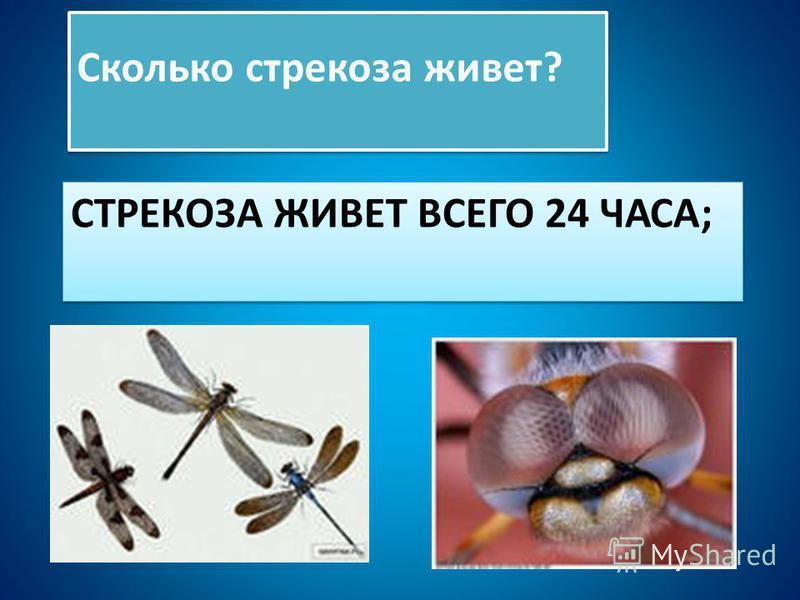 СТРЕКОЗА ЖИВЕТ ВСЕГО 24 ЧАСА; Сколько стрекоза живет?