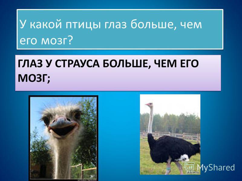 ГЛАЗ У СТРАУСА БОЛЬШЕ, ЧЕМ ЕГО МОЗГ; У какой птицы глаз больше, чем его мозг?