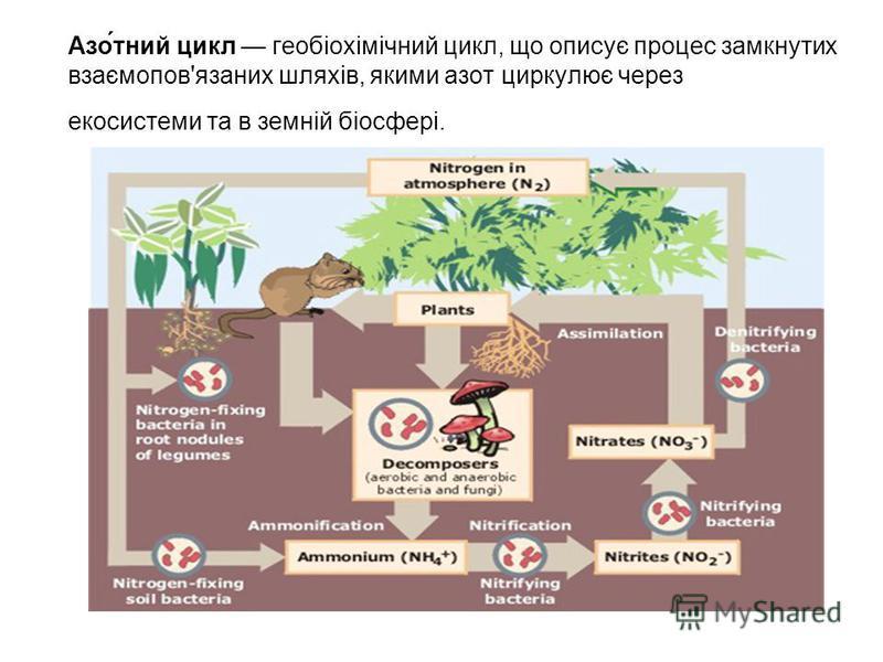 Азо́тний цикл геобіохімічний цикл, що описує процес замкнутих взаємопов'язаних шляхів, якими азот циркулює через екосистеми та в земній біосфері.