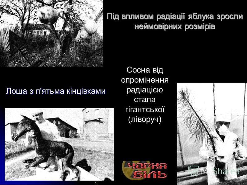 Під впливом радіації яблука зросли неймовірних розмірів Лоша з п'ятьма кінцівками Сосна от облучения радиацией стала гигантской (слева)Сосна от облучения радиацией стала гигантской (слева) Этот мальчик, из прилегающей к Чернобылю деревни, сам излучае
