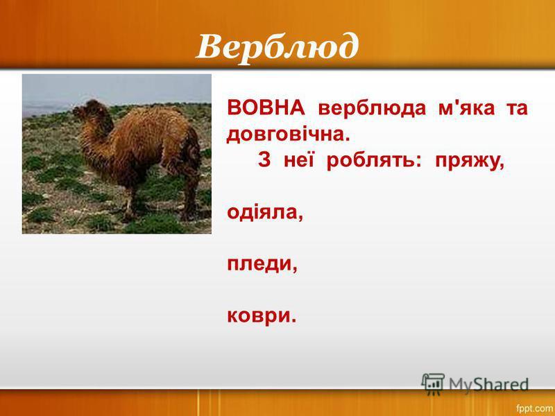 Верблюд ВОВНА верблюда м'яка та довговічна. З неї роблять: пряжу, одіяла, пледи, коври.