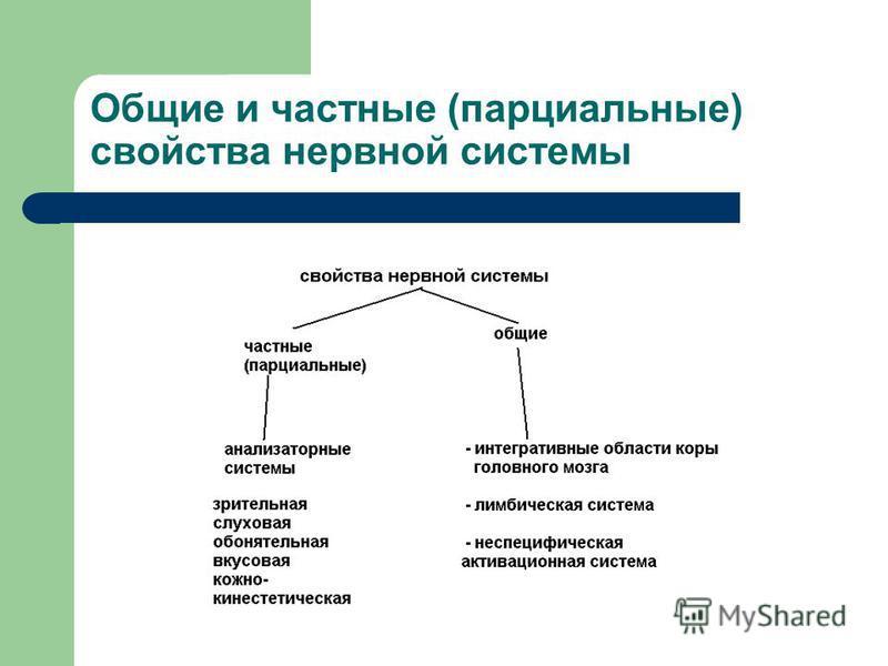 Общие и частные (парциальные) свойства нервной системы