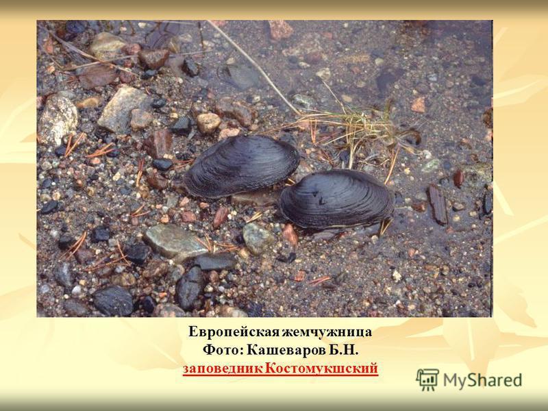 Европейская жемчужница Фото: Кашеваров Б.Н. заповедник Костомукшский