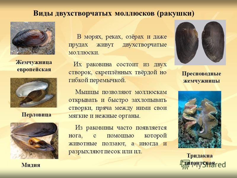 Жемчужница европейская Пресноводные жемчужницы Виды двухстворчатых моллюсков (ракушки) Перловица Мидия В морях, реках, озёрах и даже прудах живут двухстворчатые моллюски. Их раковина состоит из двух створок, скреплённых твёрдой но гибкой перемычкой.