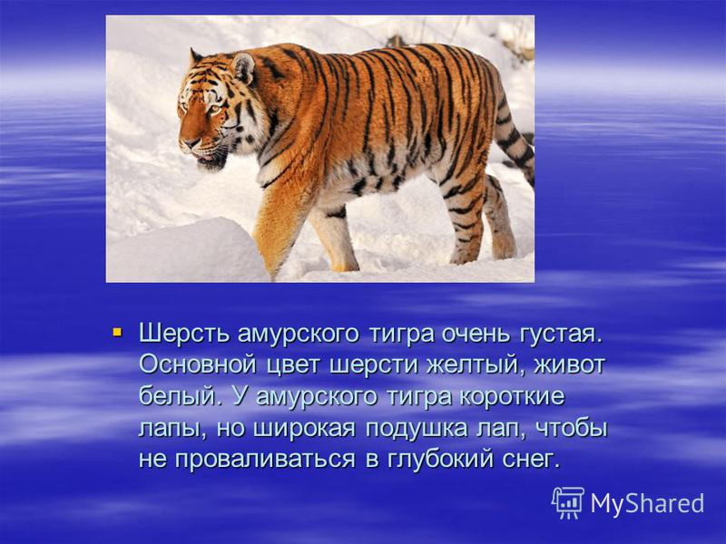 Шерсть амурского тигра очень густая. Основной цвет шерсти желтый, живот белый. У амурского тигра короткие лапы, но широкая подушка лап, чтобы не проваливаться в глубокий снег. Шерсть амурского тигра очень густая. Основной цвет шерсти желтый, живот бе