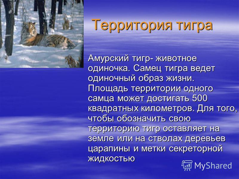 Территория тигра Территория тигра Амурский тигр- животное одиночка. Самец тигра ведет одиночный образ жизни. Площадь территории одного самца может достигать 500 квадратных километров. Для того, чтобы обозначить свою территорию тигр оставляет на земле