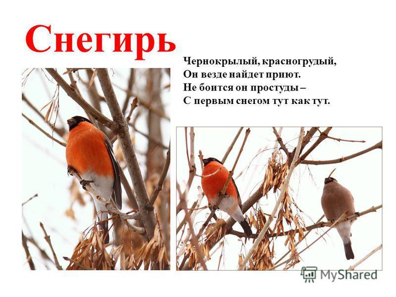 Чернокрылый, красногрудый, Он везде найдет приют. Не боится он простуды – С первым снегом тут как тут. Снегирь