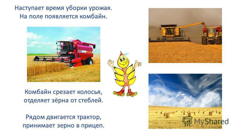Наступает время уборки урожая. На поле появляется комбайн. Комбайн срезает колосья, отделяет зёрна от стеблей. Рядом двигается трактор, принимает зерно в прицеп.