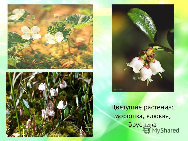 Цветущие растения: морошка, клюква, брусника
