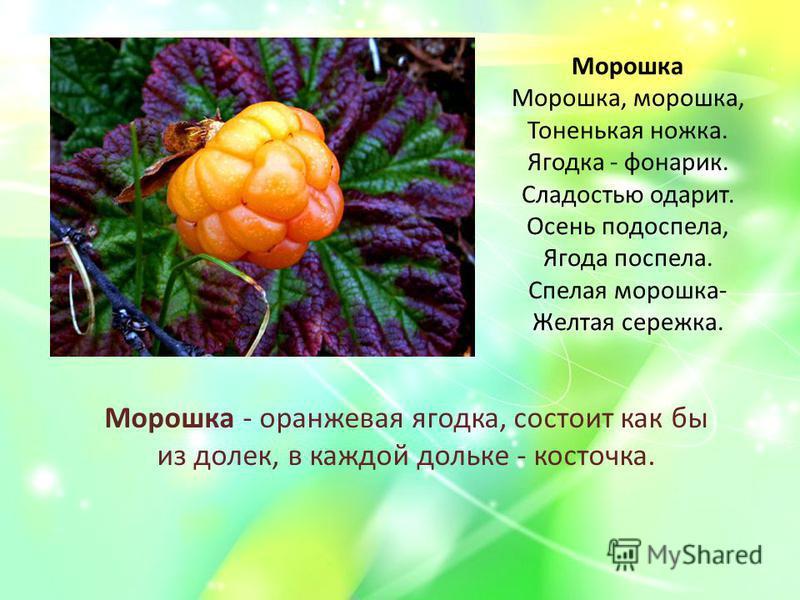 Морошка Морошка, морошка, Тоненькая ножка. Ягодка - фонарик. Сладостью одарит. Осень подоспела, Ягода поспела. Спелая морошка- Желтая сережка. Морошка - оранжевая ягодка, состоит как бы из долек, в каждой дольке - косточка.