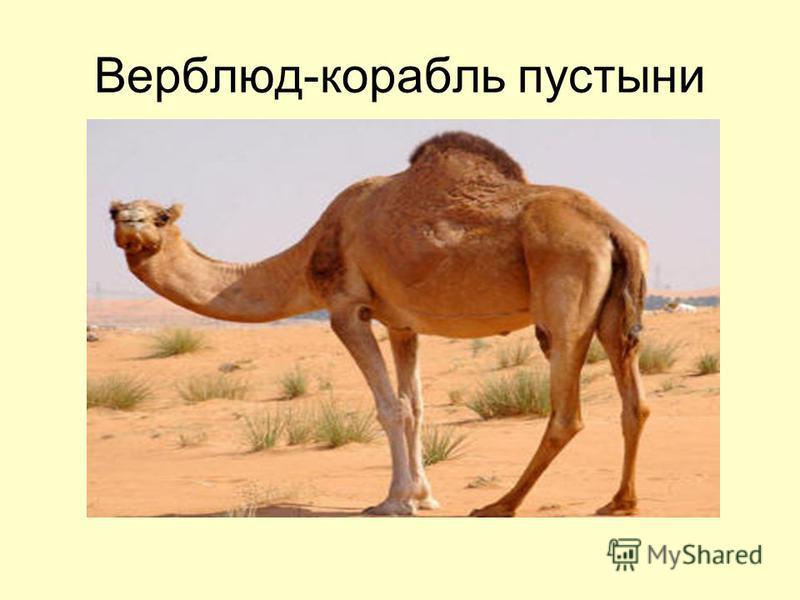 Верблюд-корабль пустыни