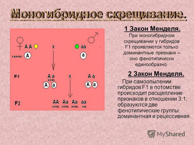 1 Закон Менделя. При моногибридном скрещивании у гибридов F1 проявляются только доминантные признаки – оно фенотипически единообразно. 2 Закон Менделя. При самоопылении гибридов F1 в потомстве происходит расщепление признаков в отношении 3:1, образую
