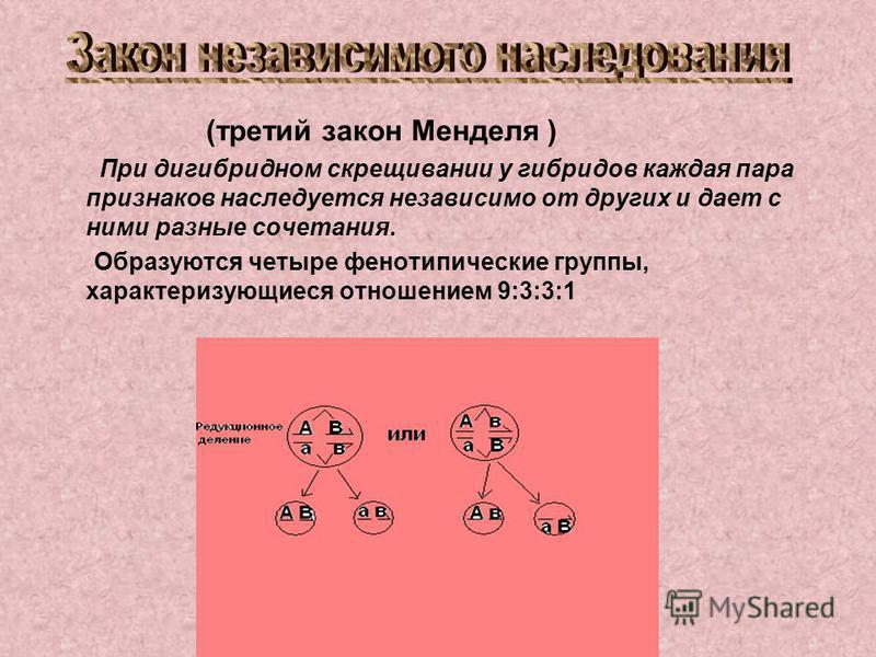 (третий закон Менделя ) При дигибридном скрещивании у гибридов каждая пара признаков наследуется независимо от других и дает с ними разные сочетания. Образуются четыре фенотипические группы, характеризующиеся отношением 9:3:3:1