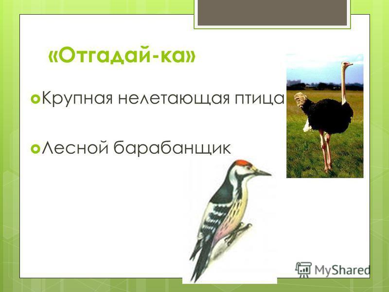 «Отгадай-ка» Крупная нелетающая птица Лесной барабанщик