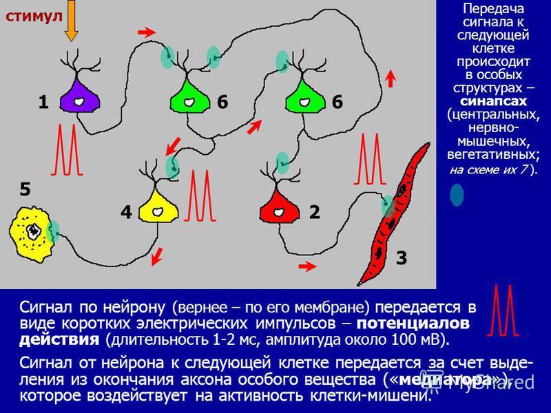 10 Сигнал по нейрону (вернее – по его мембране) передается в виде коротких электрических импульсов – потенциалов действия (длительность 1-2 мс, амплитуда около 100 мВ). Сигнал от нейрона к следующей клетке передается за счет выделения из окончания ак
