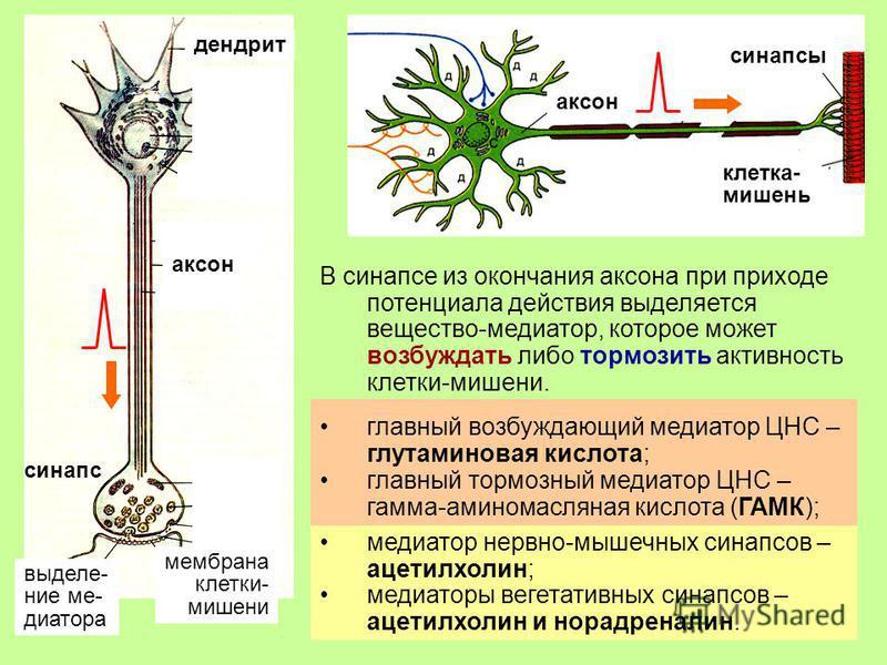 11 В синапсе из окончания аксона при приходе потенциала действия выделяется вещество-медиатор, которое может возбуждать либо тормозить активность клетки-мишени. синапс синапсы клетка- мишень мембрана клетки- мишени аксон дендрит аксон выделение медиа