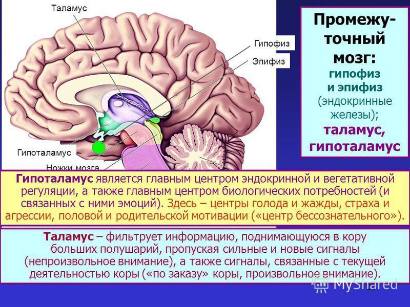 22 Таламус Гипоталамус Ножки мозга Четверохолмие Мост Продолговатый мозг Мозжечок Эпифиз Таламус – фильтрует информацию, поднимающуюся в кору больших полушарий, пропуская сильные и новые сигналы (непроизвольное внимание), а также сигналы, связанные с