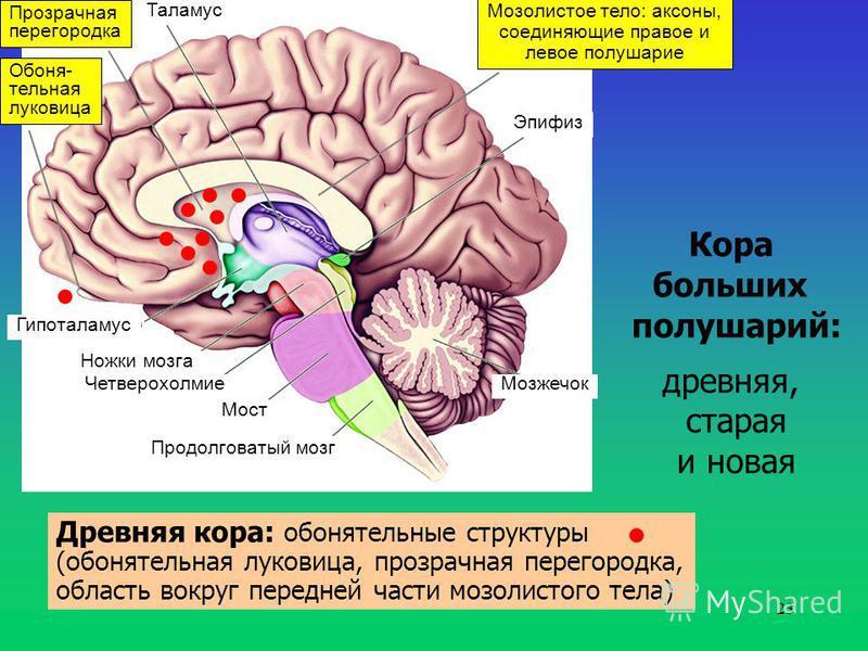 23 Таламус Гипоталамус Ножки мозга Четверохолмие Мост Продолговатый мозг Мозжечок Эпифиз Кора больших полушарий: древняя, старая и новая Мозолистое тело: аксоны, соединяющие правое и левое полушарие Прозрачная перегородка Обоня- тельная луковица Древ