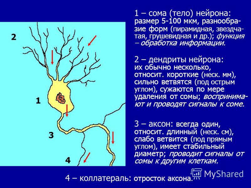 5 1 2 3 4 1 – сома (тело) нейрона: размер 5-100 мкм, разнообразие форм (пирамидная, звездчатая, грушевидная и др.); функция – обработка информации. 2 – дендриты нейрона: их обычно несколько, относит. короткие (неск. мм), сильно ветвятся (под острым у